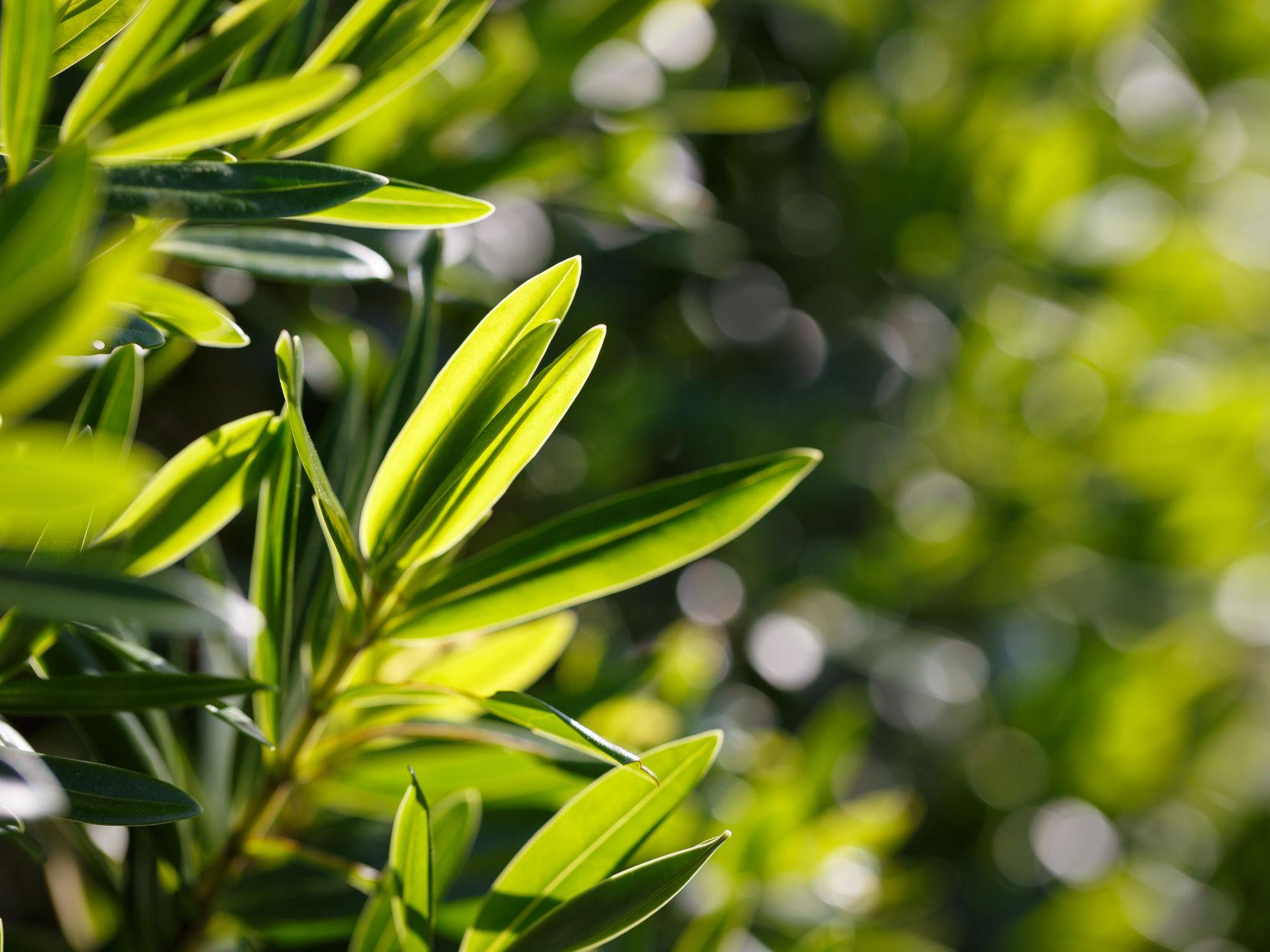 Melaleuca Alternifolia Leaf Extract